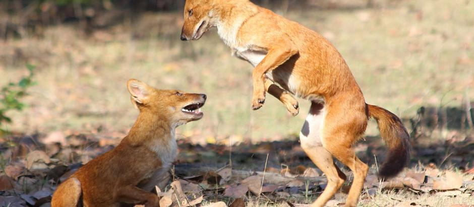 Nature & Cambodge : Le dhole ou chien sauvage d'Asie