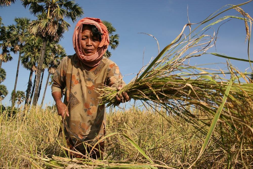 Récolte à Kampong Chhnang. Photographie ILO (cc)