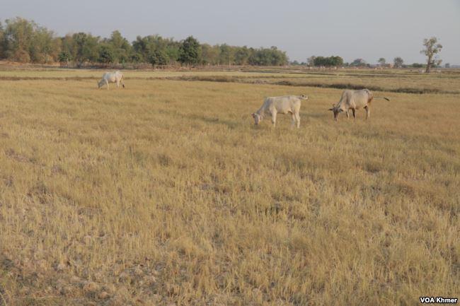 Vaches dans un champ de la province de Banteay Meanchey, Cambodge