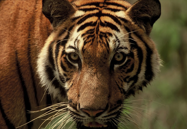 Tigre d'Indochine. Photographie Allan Michaud (c)