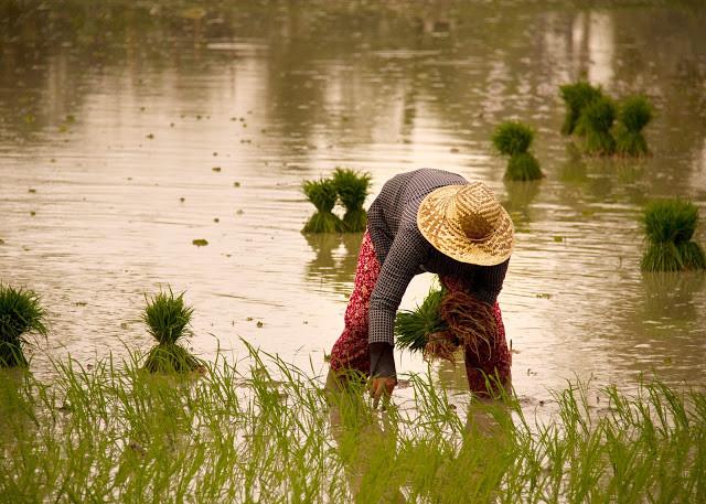 Le Cambodge pourrait avoir un surplus de 5 millions de tonnes de riz cette année