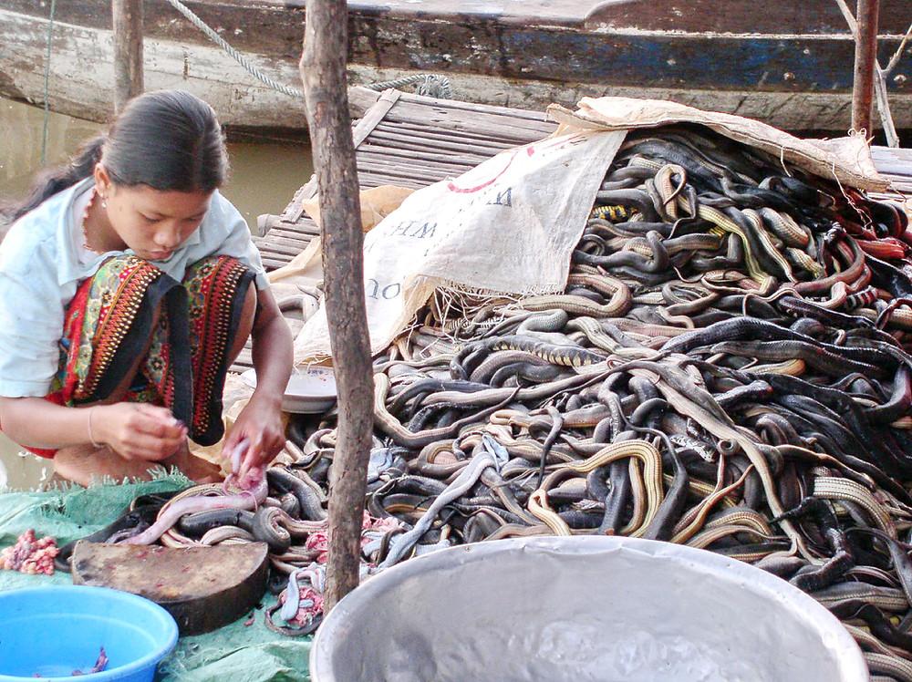 Serpents d'eau douce destinés aux fermes de crocodiles