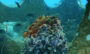 Le mérou est un prédateur important dans les écosystèmes des récifs coralliens. Crédit: Roger Bruget