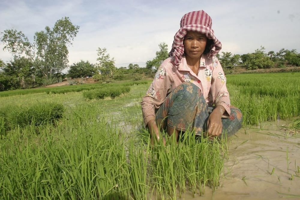 Baisse des exportations de riz cambodgien