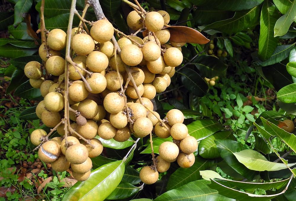 Anloung Chen est réputée pour la qualité de ses longanes
