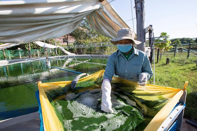 Récolte de l'algue