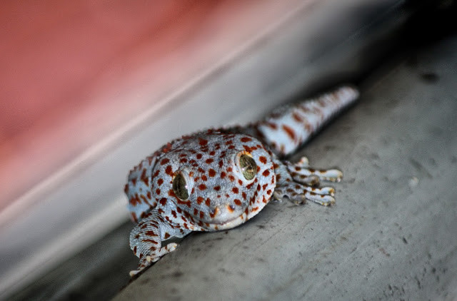 Tokay gecko. Photo par Christophe Gargiulo