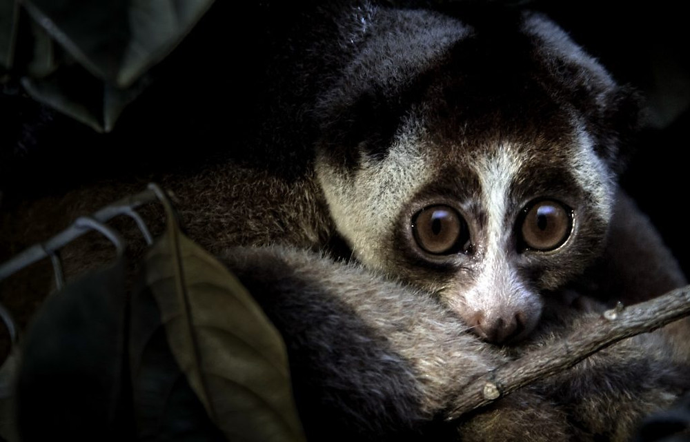 Slow Loris, utilisé pour ma médecine traditionnelle au Cambodge. Photographie Paul Williams (cc)