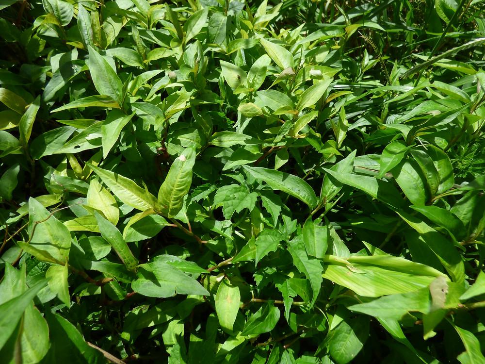 Persicaria odorata ou menthe cambodgienne (ជីរក្រសាំងទំហំ)