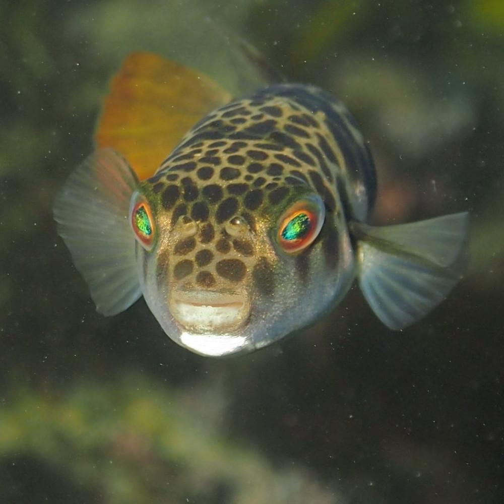 Poisson-globe, aussi appelé poisson-ballon