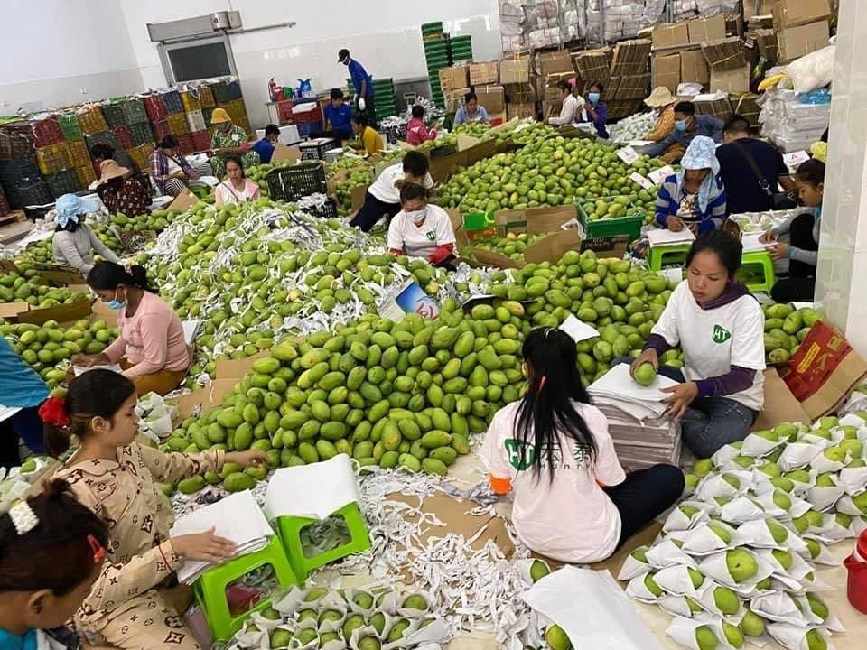 43680 tonnes de mangues exportées en janvier et février 2021