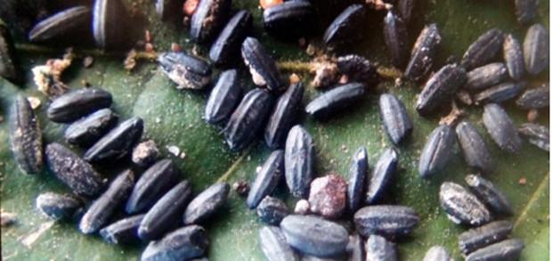 Riz noir au Cambodge