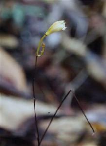 Lecanorchis vietnamica du Bokor