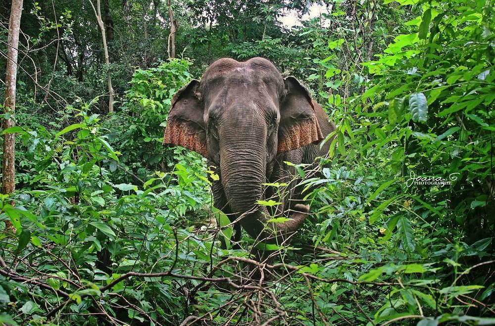 Éléphant de la fondation