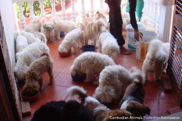 Plus de deux cent chiens dans sa villa