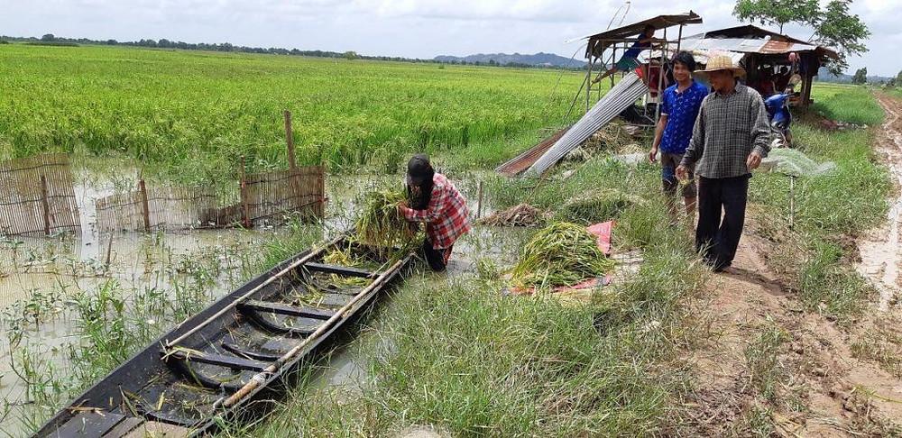 Riz : 20 000 hectares de rizières touchés par les inondations, 3 000 hectares détruits