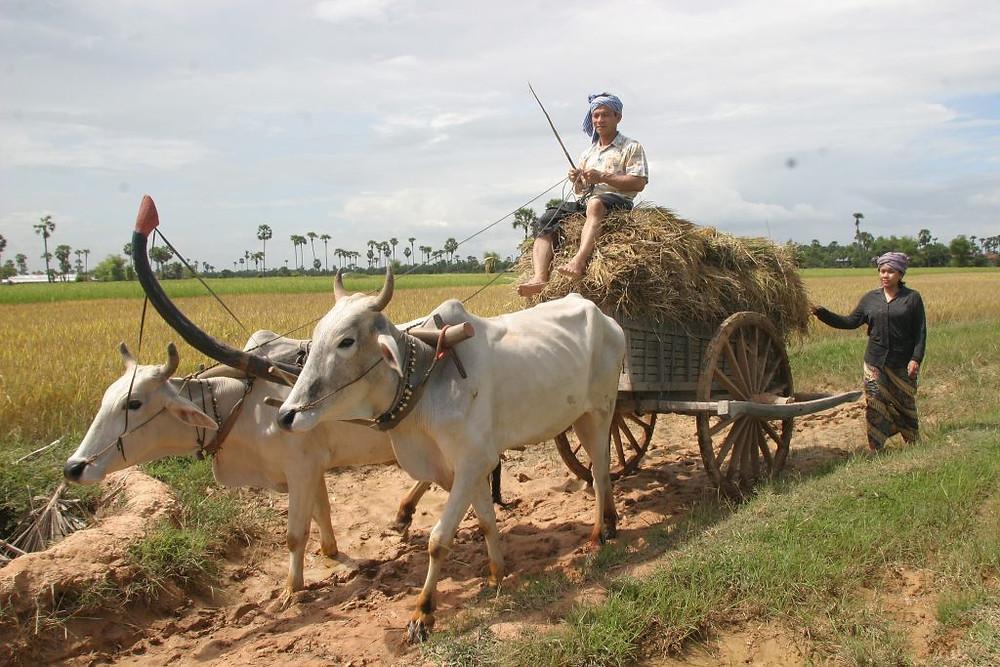 Transport du riz au Cambodge. Photographie par ILO (cc)