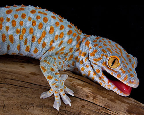 Tokay : Gros lézard pouvant atteindre 20 cm aux couleurs variées. On l'entend plus qu'on le voit. Bariolé, il émet des sons impressionnant la plupart du temps en hoquets impairs. Gecko presque sacré au Cambodge qui a inspiré bien des peurs et des fantasmes.
