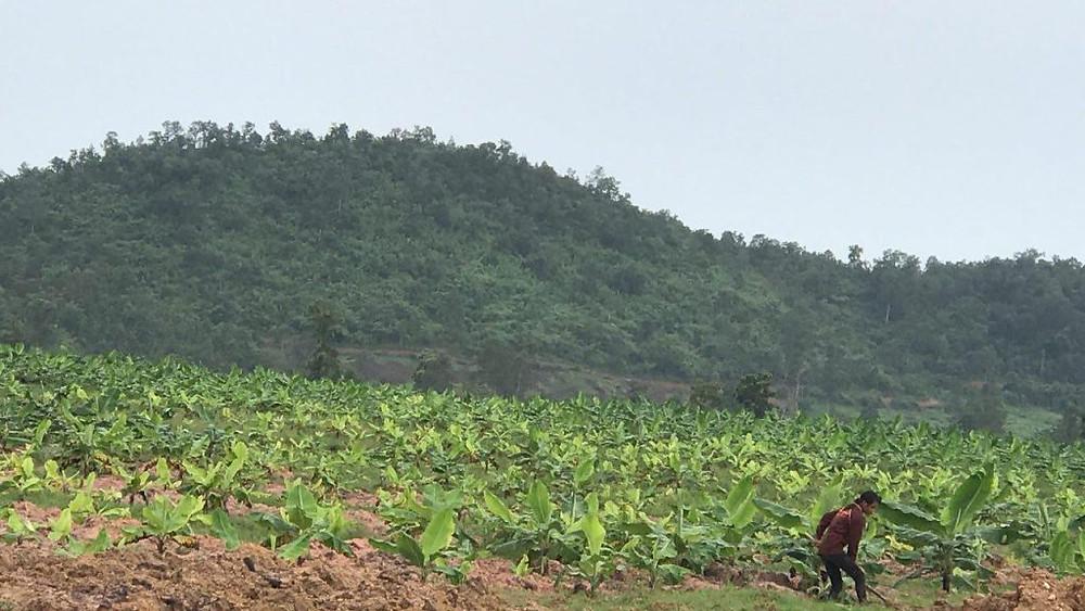 Culture de bananes sur 1 000 hectares de terres dans le district de Chhouk à Kampot.