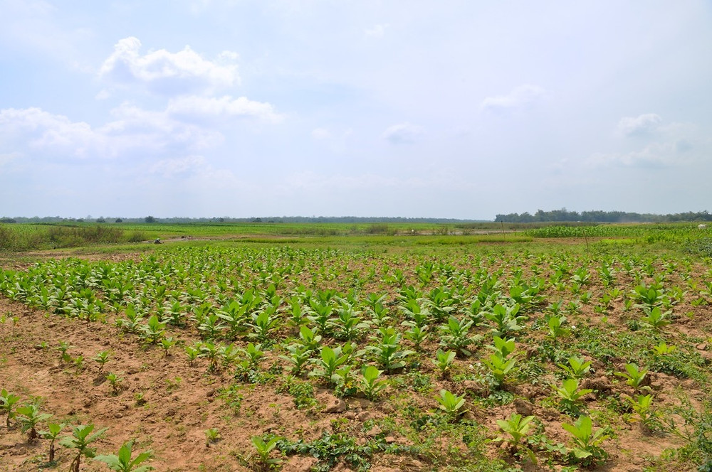 Champs de tabac dans les environs de Kampong Cham