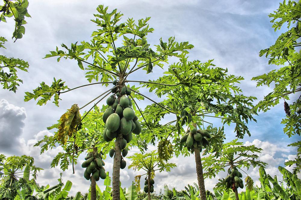 Également fameuses, les papayes d'Anloung Chen