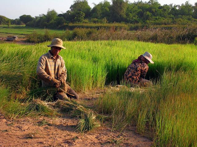 Riziculteurs cambodgiens. Photographie par ILO