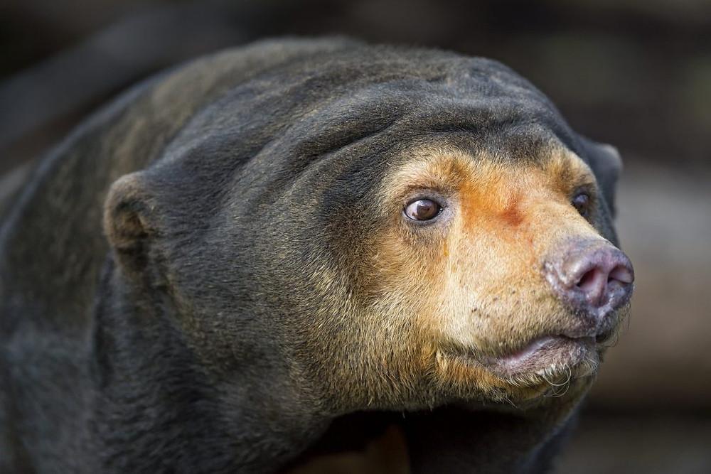 L'ours malais est la plus petite et la plus rare des huit espèces d'ours vivants du monde