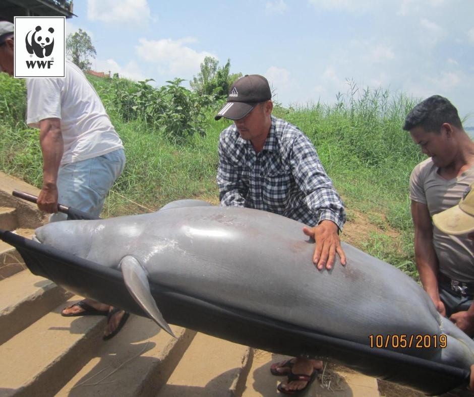 Mort d'un dauphin de l'Irrawaddy