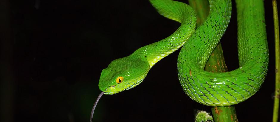 Nature & Archives : Serpents menacés au Cambodge