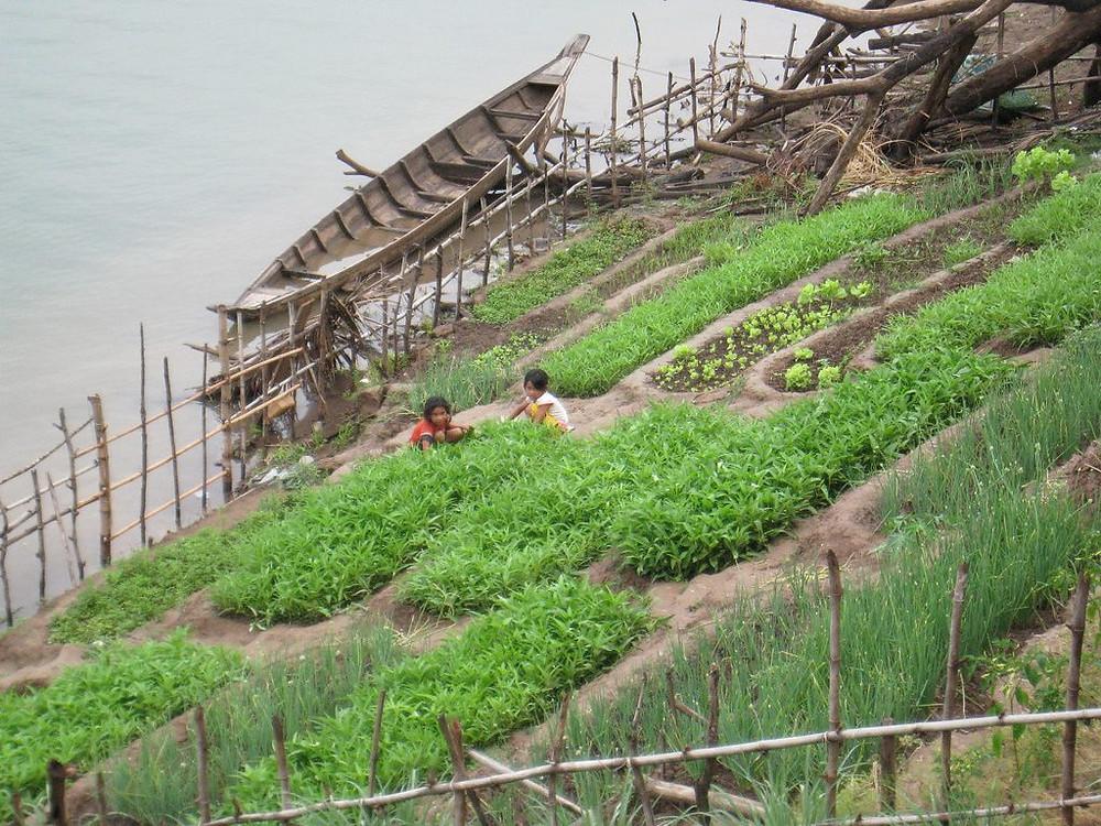Cultures secondaires au bord du Mékong. Photographie par michelhrv (cc)
