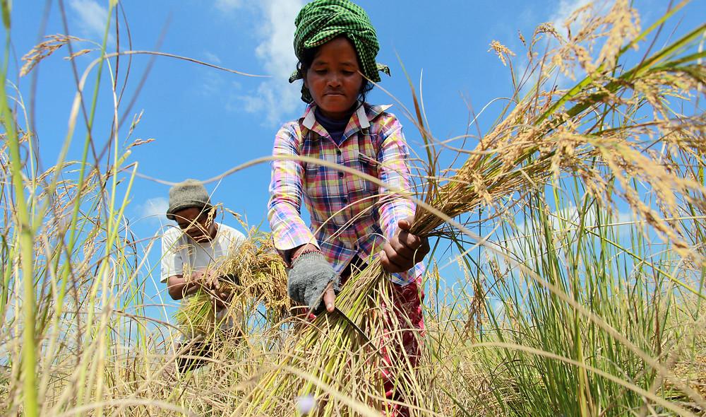 Récolte du riz. Illustration WB
