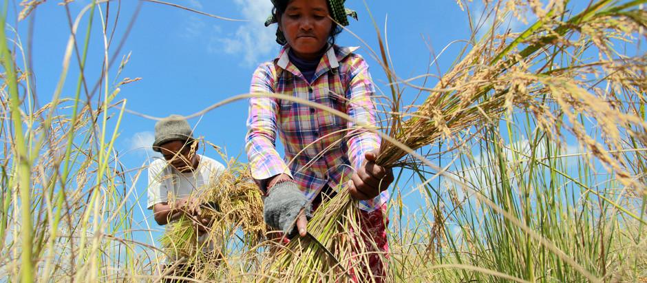 Cambodge & Brève éco : Chute continue à Angkor et export de riz à la hausse