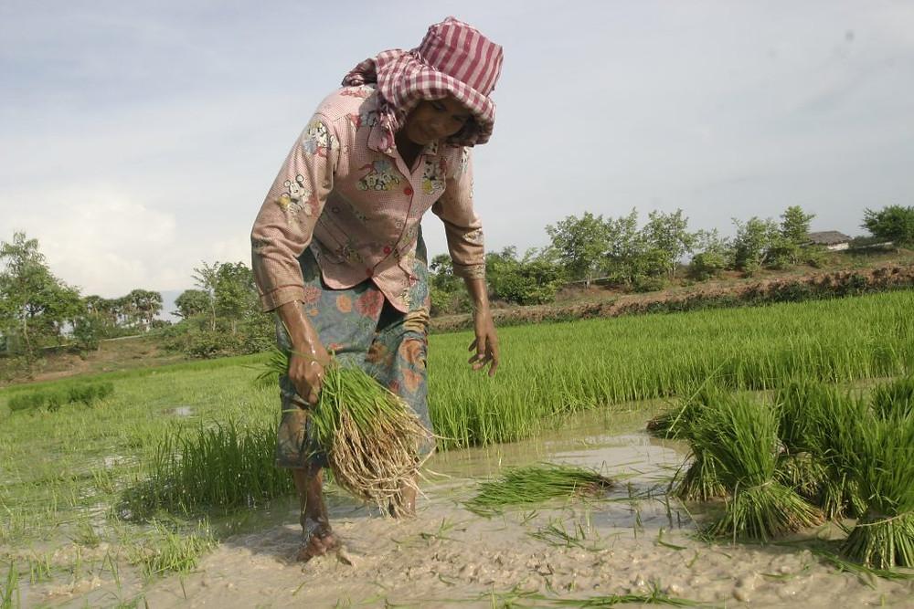 Travail dans une rizière cambodgienne. Photographie ILO (cc)