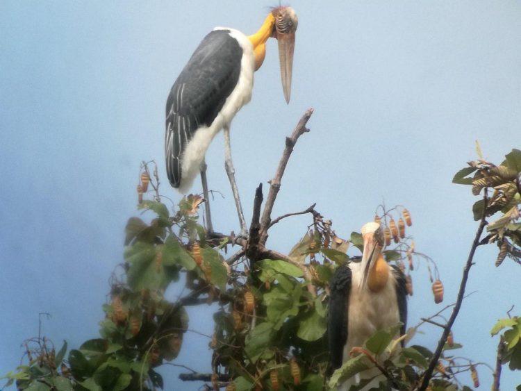 Keo Seima : Découverte d'un nid de marabouts chevelus