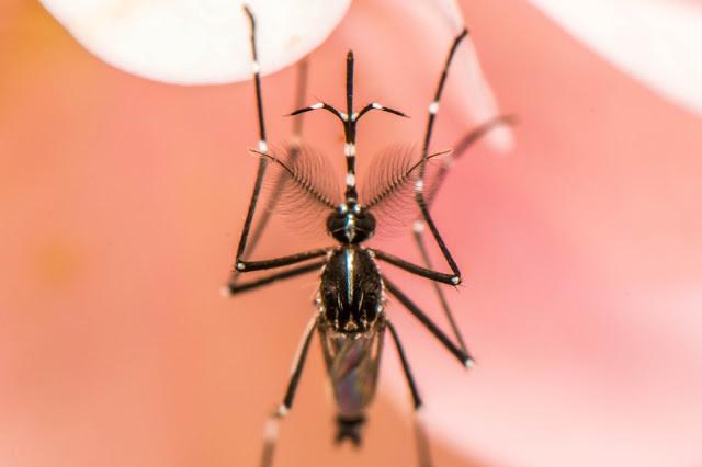 Male Aedes albopictus. Photographie par Eric Stavale (CC)