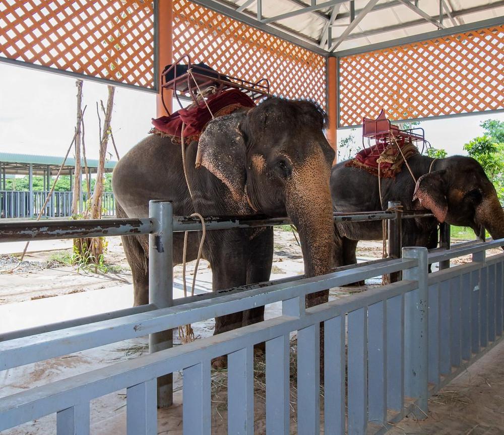 Deux éléphants équipés d'un attelage