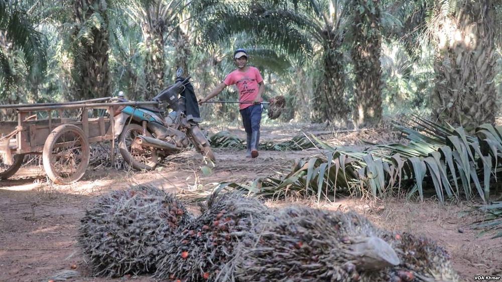 Les producteurs de sucre de palme de Kampong Speu appellent le gouvernement à conserver le régime privilégié