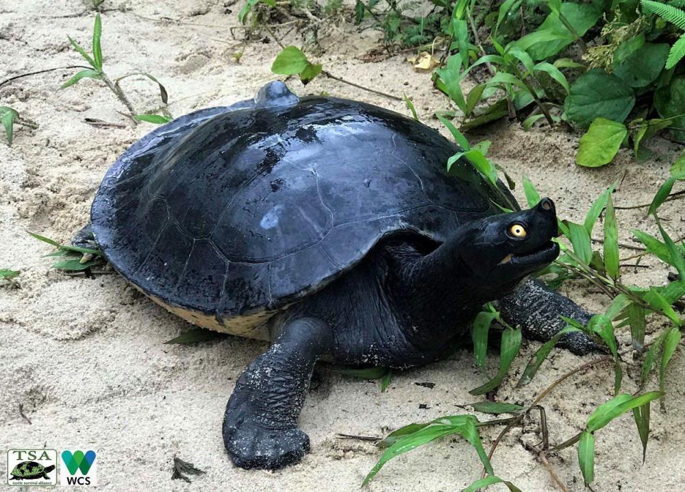La tortue royale met 12 ans pour arriver à maturité