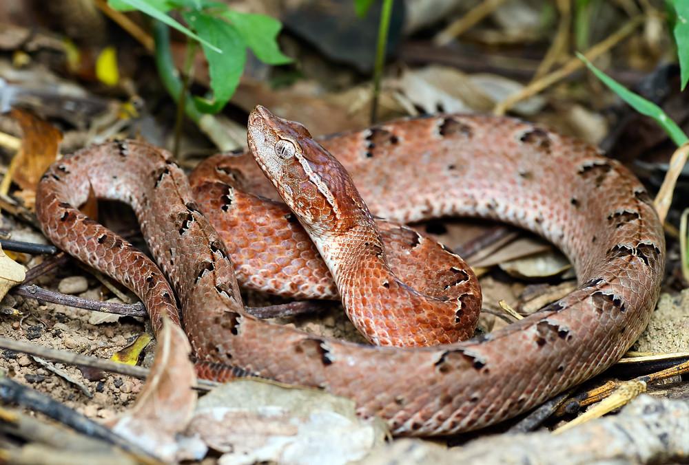 Vipère de Malaisie ou «'pit viper»