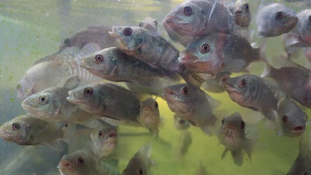 Garra Rufa ou poissons docteurs. Photo Christophe Gargiulo