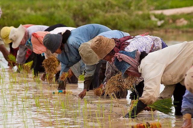 Agriculture traditionnelle au Cambodge