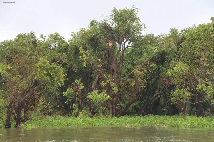 Stung Sen est la plus haute et la plus sauvage des forêts marécageuses inondées du Grand Lac Tonlé Sap