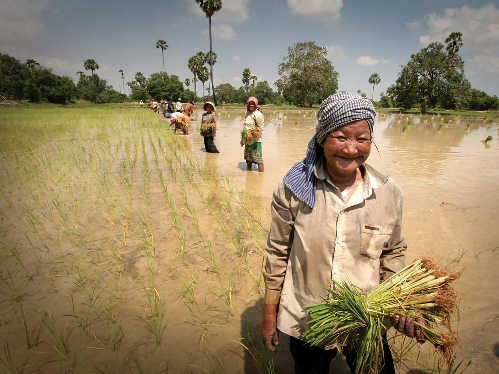 Récolte de riz au Cambodge.