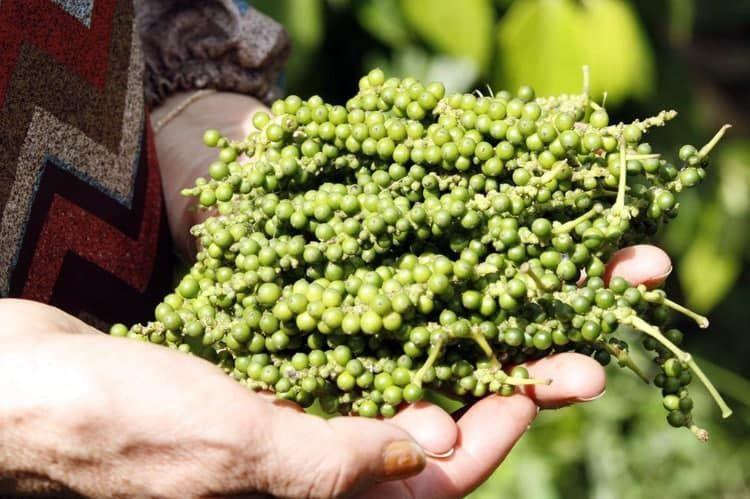 L'exportation du poivre de Kampot reste stable
