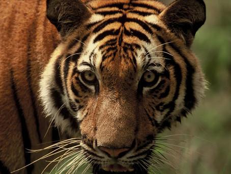 Cambodge & Nature : Le dernier tigre des Cardamomes