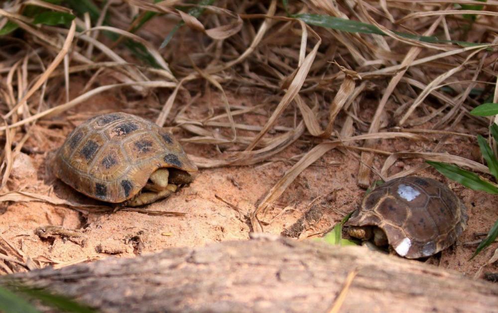 La tortue allongée (Indotestudo elongata)