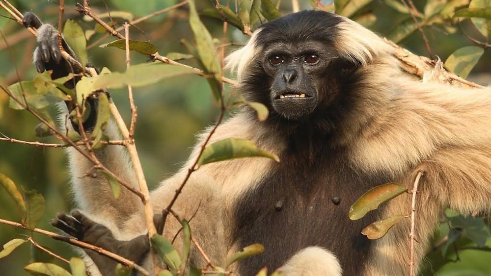 Gibbon dans les Cardamomes