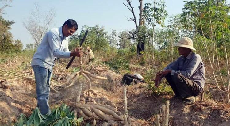 Brèves & Agriculture : Légumes bio locaux chez AEON et pleins feux sur le manioc local