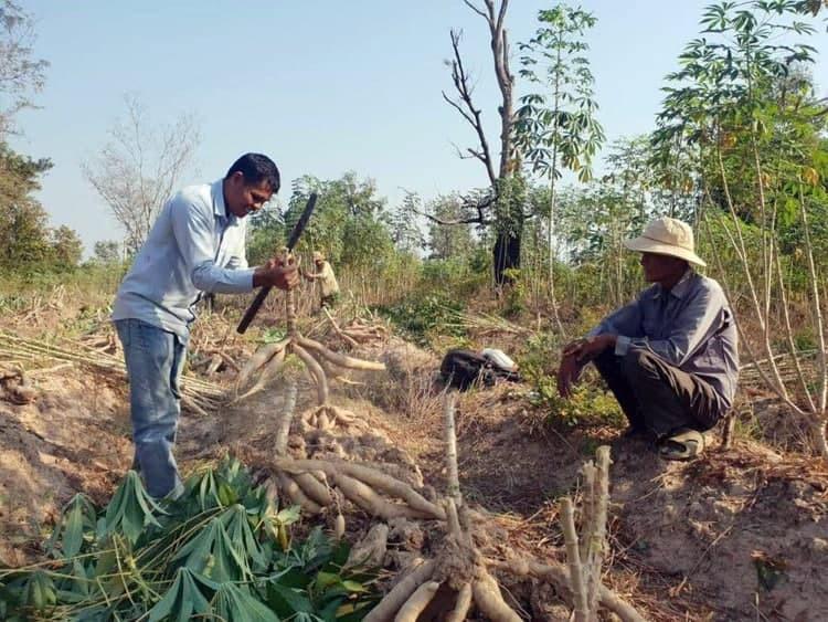 Lancement officiel de la nouvelle politique nationale sur le manioc 2020-2025