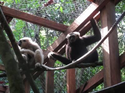 Le prochain couple de gibbons dans leur enclos d'acclimatation avant leur libération.